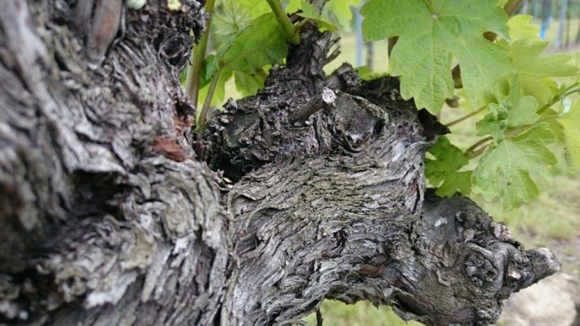 Weingut-bauer-alte-rebe